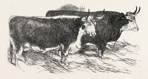SMITHFIELD CLUB PRIZE CATTLE: PRINCE ALBERT'S HEREFORD OX AND MR. WILLIAM HEATH'S