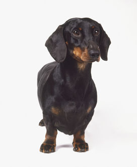 Smooth-haired Dachshund (Canis familiaris), standing, front view