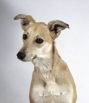Smooth-haired Lurcher dog, front view