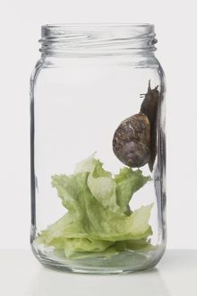 Snail crawling along inside of a jar containing lettuce leaves