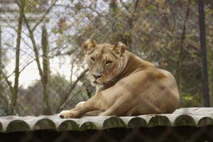 South Africa, Cape Town, Tygerberg Zoo, female lion, looking at camera