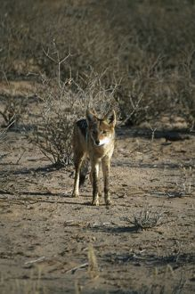 South Africa, Kalahari Gemsbok National Park, Black-backed jackal (Canis mesomelas)