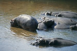 South Africa, Kruger National Park, family of hippopotamus (Hippopotamus amphibius)