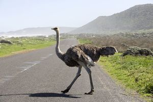 South Africa, Western Cape, wild ostrich crossing a road