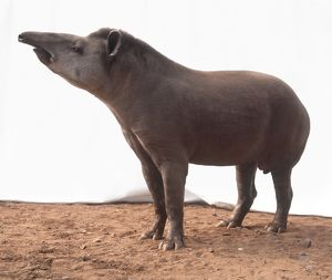 South American tapir (Tapirus terrestris), standing, side view