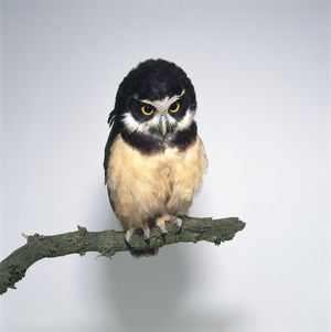 Spectacled Owl (Pulsatrix perspicillata) perching on branch