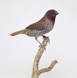 Spice finch (Lonchura punctulata), perching on a branch, side view