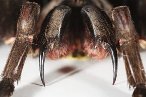 Spider showing pointed pincers, extreme close-up