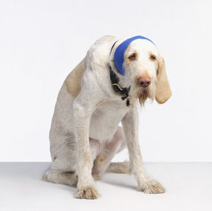 Spinone dog with its ear bandaged