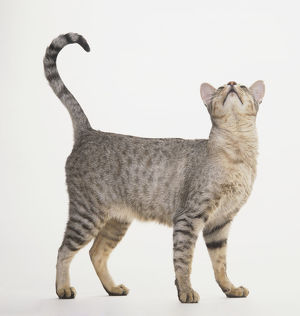 Spotted Egyptian Mau Cat (Felis sylvestris catus), standing and looking up with tail curled up