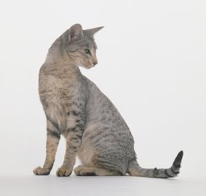 Spotted Egyptian Mau cat, seated, looking over shoulder