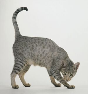 Spotted Egyptian Mau cat, side view, looking at camera