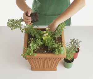 Square terracotta container, child planting sage, roseamry, thyme, marjoram and parsley