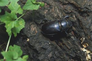 Stag Beetle (Lucanus cervus) perched on tree bark, close up.