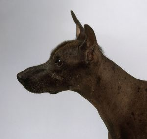 Standard Mexican Hairless Dog, profile