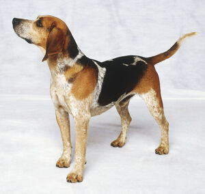 Standing Beagle Dog (Canis familiaris), side view