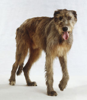 Standing Irish Wolfhound Dog (Canis familiaris), front view