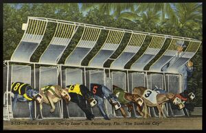 Start of a Greyhound Dog Race. ca. 1949, Saint Petersburg, Florida, USA, Release