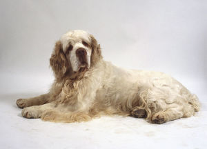 A stocky Clumber spaniel with a thick wavy white coat and brown ears lies on the