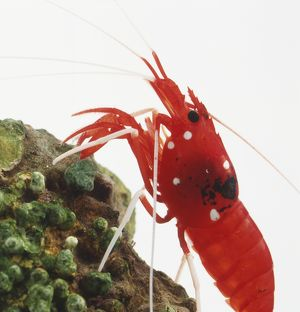 Strawberry Shrimp (Lysmata debelius) on rock, close-up, side view