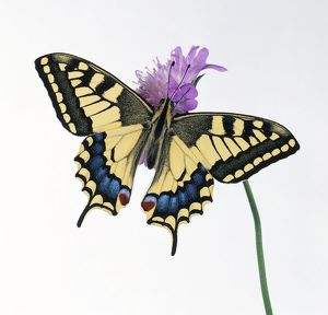 Swallowtail butterfly (Papilio machaon) perched on scabious flower