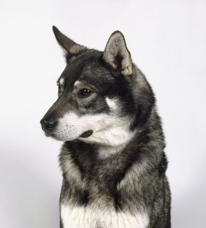 Swedish Elkhound, head and shoulders