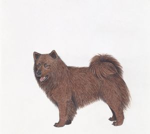 Swedish Lapphund, illustration