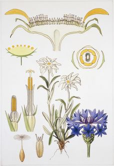 Symphyandra, Campanulaceae and Asteraceae, illustration
