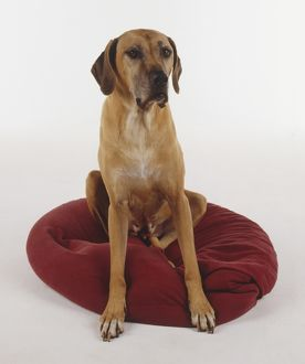A tan Rhodesian Ridgeback sitting on a red cushion looking at the camera