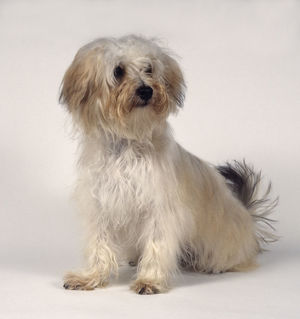 Tan and white Bichon-Yorkie (Bichon Frise and Yorkshire Terrier) cross-bred semi-longhaired dog