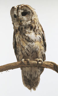 Tawny Owl (Strix aluco), perching on branch