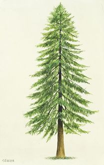 Taxodiaceae Coast Redwood Sequoia Sempervirens, illustration