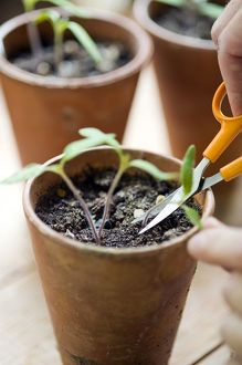 Thinning out tomato plant seedlings using scissors