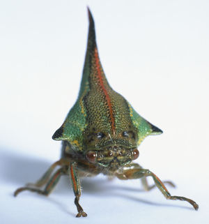 Thorn Bug, detail of face and brightly coloured horn, front view.