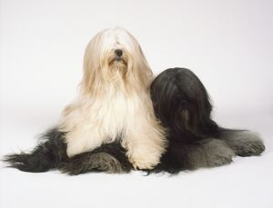 Two Tibetan terriers, one white and one black, with long silky coats, one lying on top
