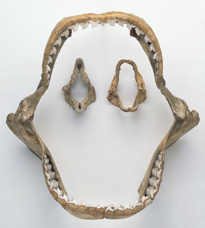 Tiger Shark jaw and teeth