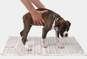 Toilet training a boxer puppy, hands placing dog on newspaper