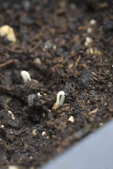 Tomato seeding growing in tray of wet seed compost