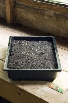Tomato seeds in tray of compost