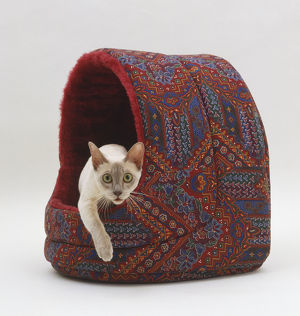 Tonkinese Cat (Felis silvestris catus) emerging from cave-like Cat bed, front view