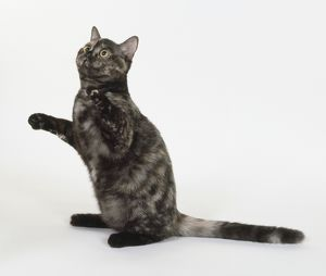 Tortie Smoke European shorthaired cat with good contrast in ourter colour, sitting