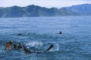 Tourists swimming with dusky dolphins, Kaikoura, South Island, New Zealand