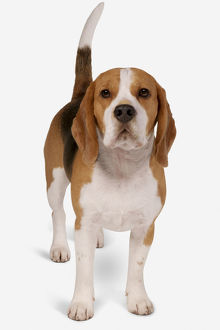 Tricoloured Beagle standing, looking at camera
