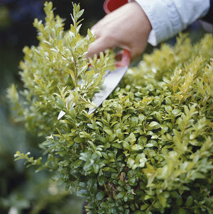 Trimming garden hedge with shears