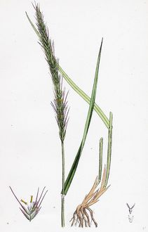 Triticum caninum, Wood Couch-grass
