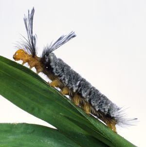 Tropical Tiger Moth Caterpillar on plant stem after moult, side view.