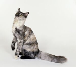 Turkish Angora cat with silvery tortoiseshell markings, looking up