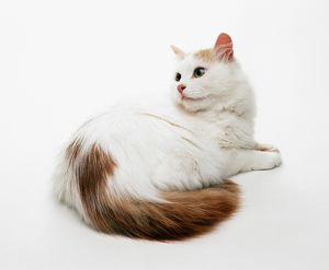 Turkish Van cat lying down with head looking over shoulder