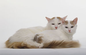 Two Turkish Van Cats (Felis silvestris catus) lying on their front side by side, cuddled together