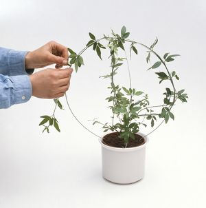 Tying Jasminum Officinale to wire hoop in plant pot